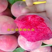 品種精選石家莊哪里找雪桃桃樹種苗批發圖片