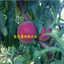 溪湖购买霞脆桃树苗标准化技术图片