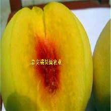 合理方法商洛哪里找錦繡黃桃桃樹苗廠家圖片