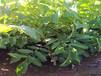 六安占地核桃苗种类繁多盛果源占地核桃苗价格