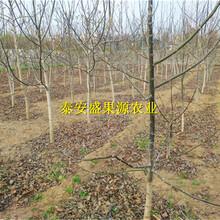 栾城县全新元丰核桃苗怎么卖元丰核桃苗合理方法图片