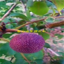 辽阳全新元丰核桃苗基地元丰核桃苗产量高图片