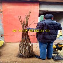 福海县全新核桃种子苗哪里有卖核桃种子苗种植规律图片