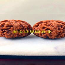 江川县全新元丰核桃苗哪里有卖元丰核桃苗货真价实图片