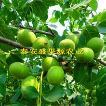 清徐县全新纸皮核桃苗报价纸皮核桃苗果园直供图片