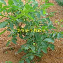广汉全新清香核桃苗产量高吗清香核桃苗种植步骤图片