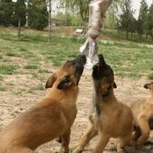 塔城哪里有賣馬犬的圖片