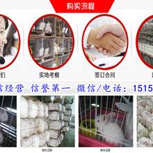 香河縣哪里有賣公羊兔的圖片