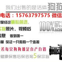 光泽县哪里有卖高加索的图片
