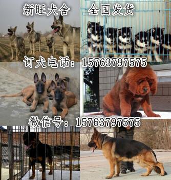 湖北省金毛犬出售