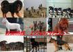 乌兰浩特杜高犬养殖场《100元起》