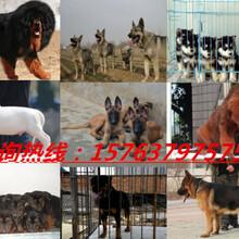 建瓯金毛犬养殖场图片