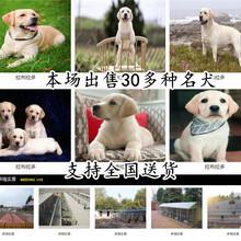 陜西漢中養狗場純種健康價格優惠圖片