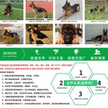广西北海比特犬厂家地址图片