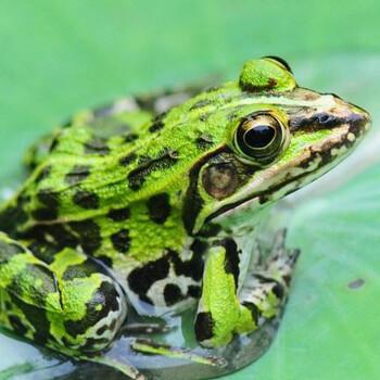 黑斑蛙青蛙苗