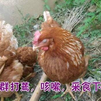 鸡群呼吸道久治不愈的原因-鸡咳嗽怎么办