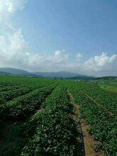 草莓苗批发图片