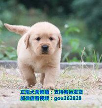琼海拉布拉多多少钱、琼海犬舍直供500起价图片