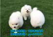 福州哈士奇多少钱一只、福州犬舍直供500起价