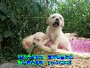 龙岩出售各种宠物狗、专业繁殖同城送货包养活