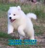 济宁出售顶级品质阿拉斯加雪橇犬赛级血统