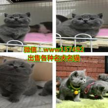 贛州金吉拉多少錢一只、贛州加菲貓價格圖片