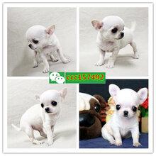 汕頭寵物店,出售各種名犬名貓(寵物咨詢)圖片