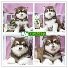 南京阿拉斯加雪橇犬、南京狗場圖片