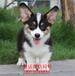 三明萨摩多少钱一只、小型犬