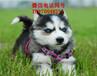 漳州哪里有阿拉斯加卖、宠物狗