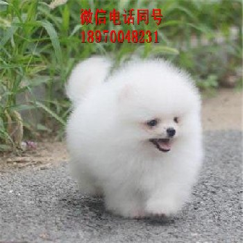 泰州哪里有哈士奇卖、小型犬