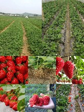 草莓苗多少钱草莓苗品种章姬隋珠图片