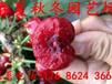 购苗-周宁早大果樱桃苗新品种有哪些(新品种)