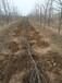 息县鲁丽苹果苗新品种-大型苗木种植基地