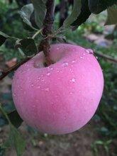供苗:慈溪市国庆红苹果苗官方报价-大型苗木种植基地图片