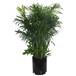 花里巴巴精品绿植夏威夷椰子