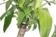 花里巴巴精品绿植大型巴西木