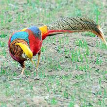鳥語林供應紅腹錦雞白腹雜交錦雞提供引種證明養殖技術野生動物繁育場圖片