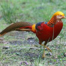 鸟语林供应红腹锦鸡白腹杂交锦鸡提供引种证明养殖技术野生动物繁育场图片