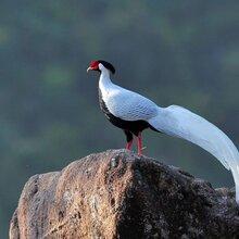 鳥語林出售白鷴銀雞野生動物繁育場白鷴養殖場圖片