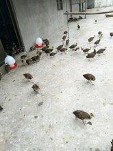 蓝孔雀价格蓝孔雀养殖