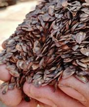 速生杉树种子批发供应杉树种子育苗技术图片