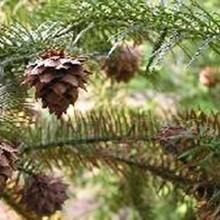 杉树种子多少钱一斤速生杉树种子育苗技术图片
