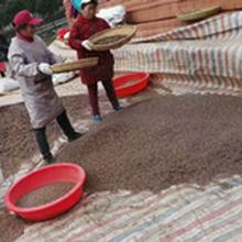 速生杉木种子育苗技术广西杉木种子批发供应厂家图片