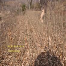 板栗树哪里有卖泰山薄壳栗子黑河市排行榜图片