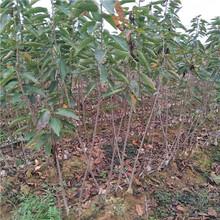 出售石榴树苗价格多少钱1公分石榴树苗自产自销泰安高新区果硕苗木中心图片