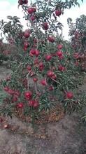 山西省寒富苹果价格大量供应苹果树苗批发图片