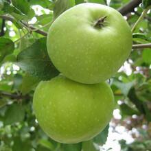 湖北省红肉苹果苹果苗基地出售苹果树苗多少钱图片
