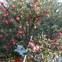 湖北省红肉苹果苹果苗新品种苹果树苗新品种图片