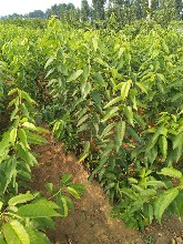 新疆樱桃苗砂蜜豆樱桃大量供应泰安高新区果硕苗木中心图片